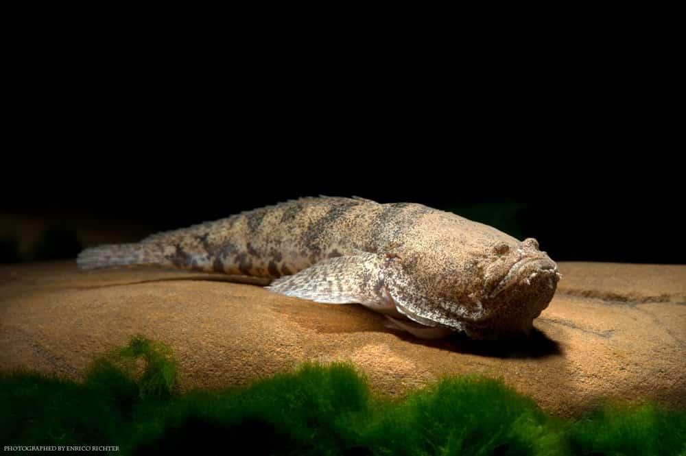 Talassophryne amazonica WF Peru 4-8cm