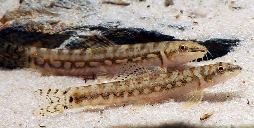 Mesonoemacheilus guentheri