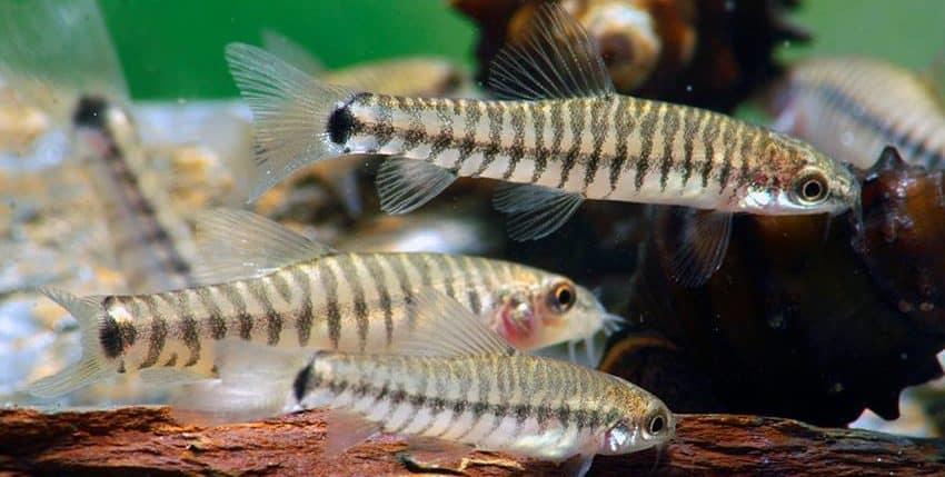 Micronemacheilus cruciatus (= Yunnanilus c.)