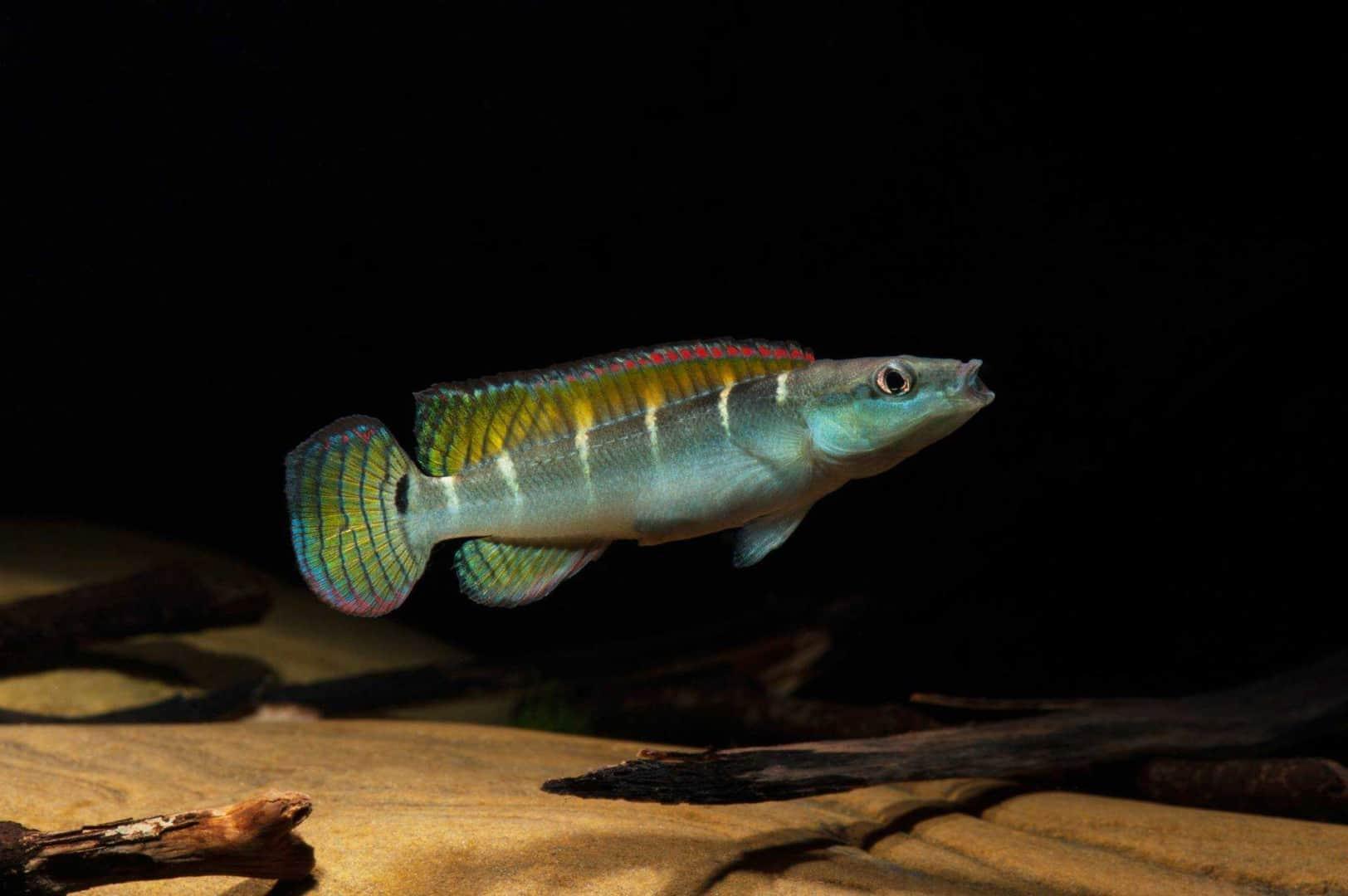 Crenicichla compressiceps Wf Brasilien 6-7cm - Quelle: Aqua Global