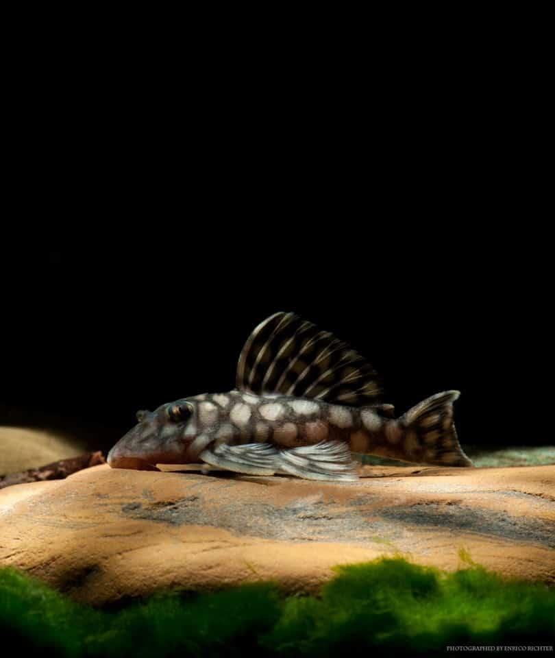 L354 Oligancistrus sp. Sao Felix 13-16cm - Quelle: Aqua Global