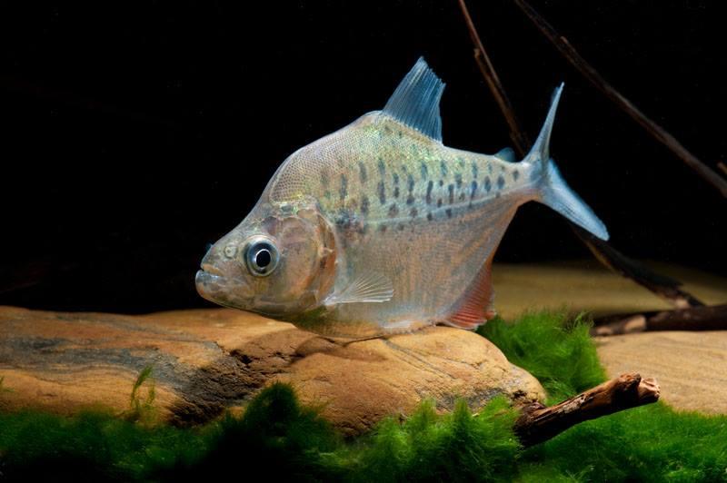 Serrasalmus compressus WF Peru 8-10cm - Quelle: Aqua Global