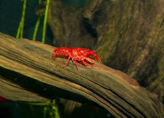 Das große Krabbeln: Flusskrebse für Süßwasseraquarien 1