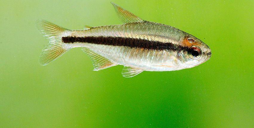 Hyphessobrycon piranga