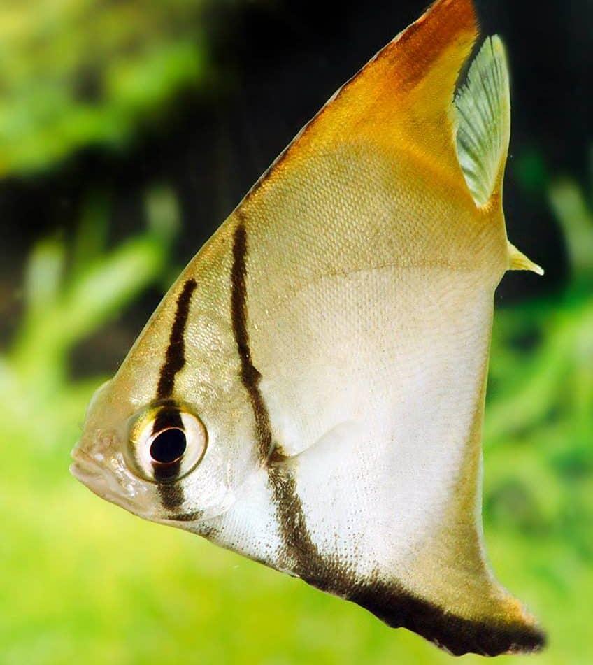 Monodactylus kottelati