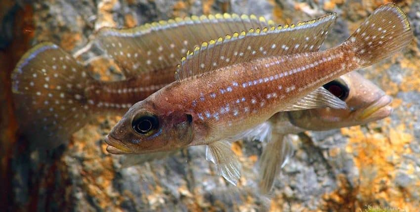 Neolamprologus tetracanthus