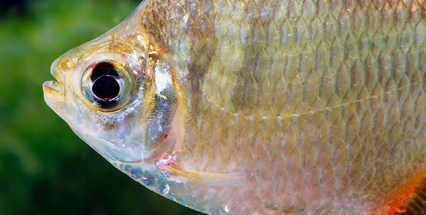 Tetragonopterus argenteus