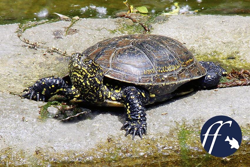 Franky Friday: Die Europäische Sumpfschildkröte, Emys orbicularis 1