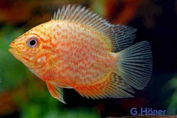 Augenfleckbuntbarsche rot-gold