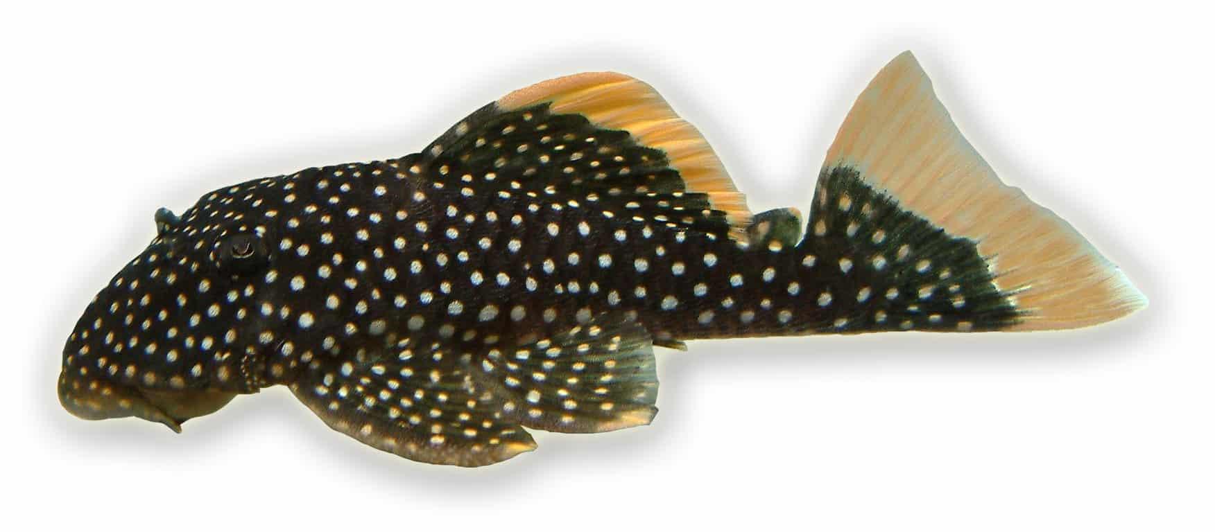 Baryancistrus xanthellus L81 - Gelbsaum-Prachtharnischwels (small spot)