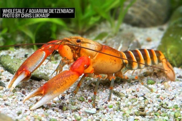 Cherax cf. peknyi red claw zebra Krebs