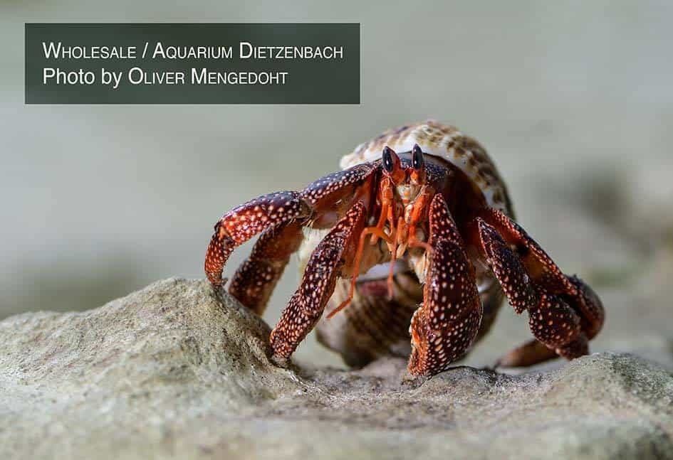 Coenobita perlatus - Landeinsiedler Erdbeer Black