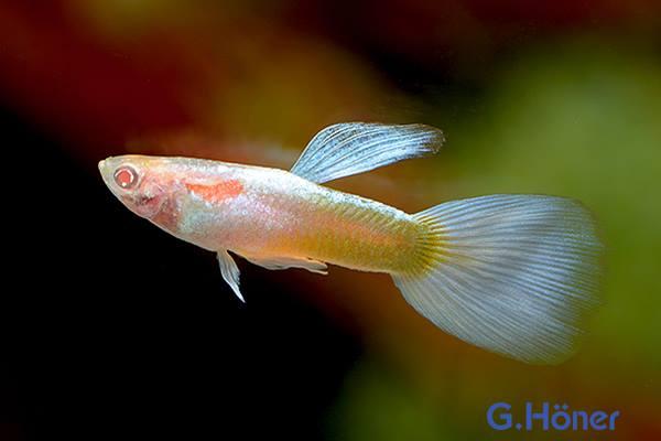 Guppy Platinum albino