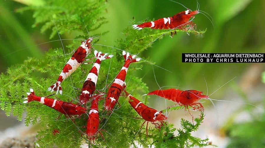 Red & White Shadow Garnelen
