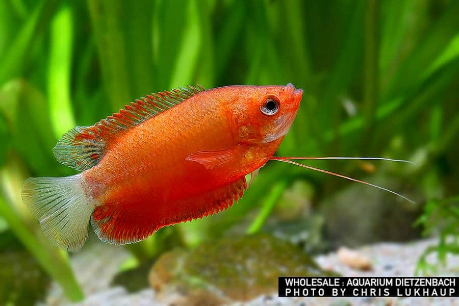 Colisa chuna (labiosa) - Dicklippiger roter Fadenfisch
