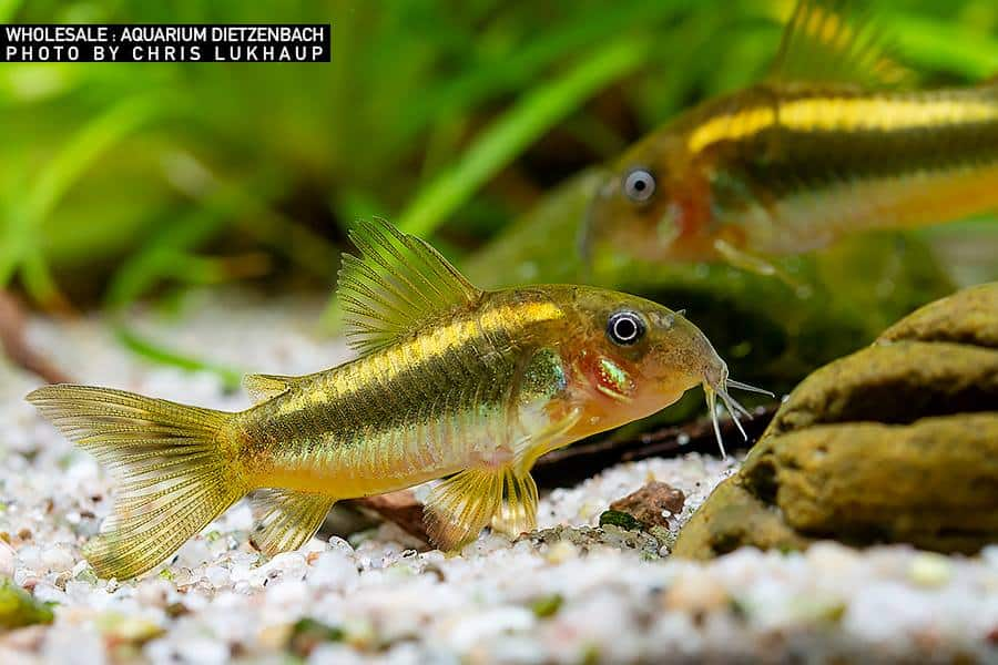 Goldstripe Panzerwels -Corydoras aeneus var