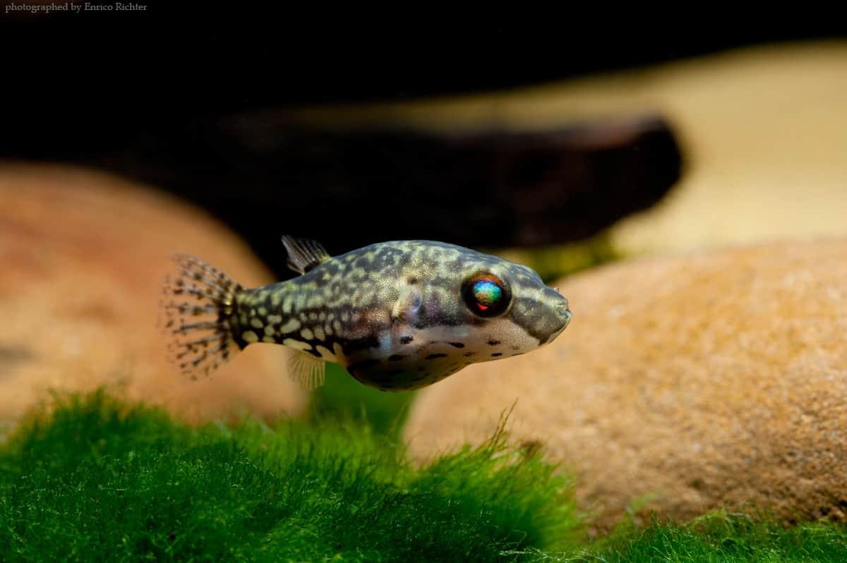 Rotschwanz-Kammkugelfisch - Carinotetraodon irrubesco 3-4cm WF