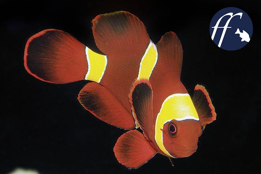 Franky Friday: Ungewöhnliche Anemonenfische 1
