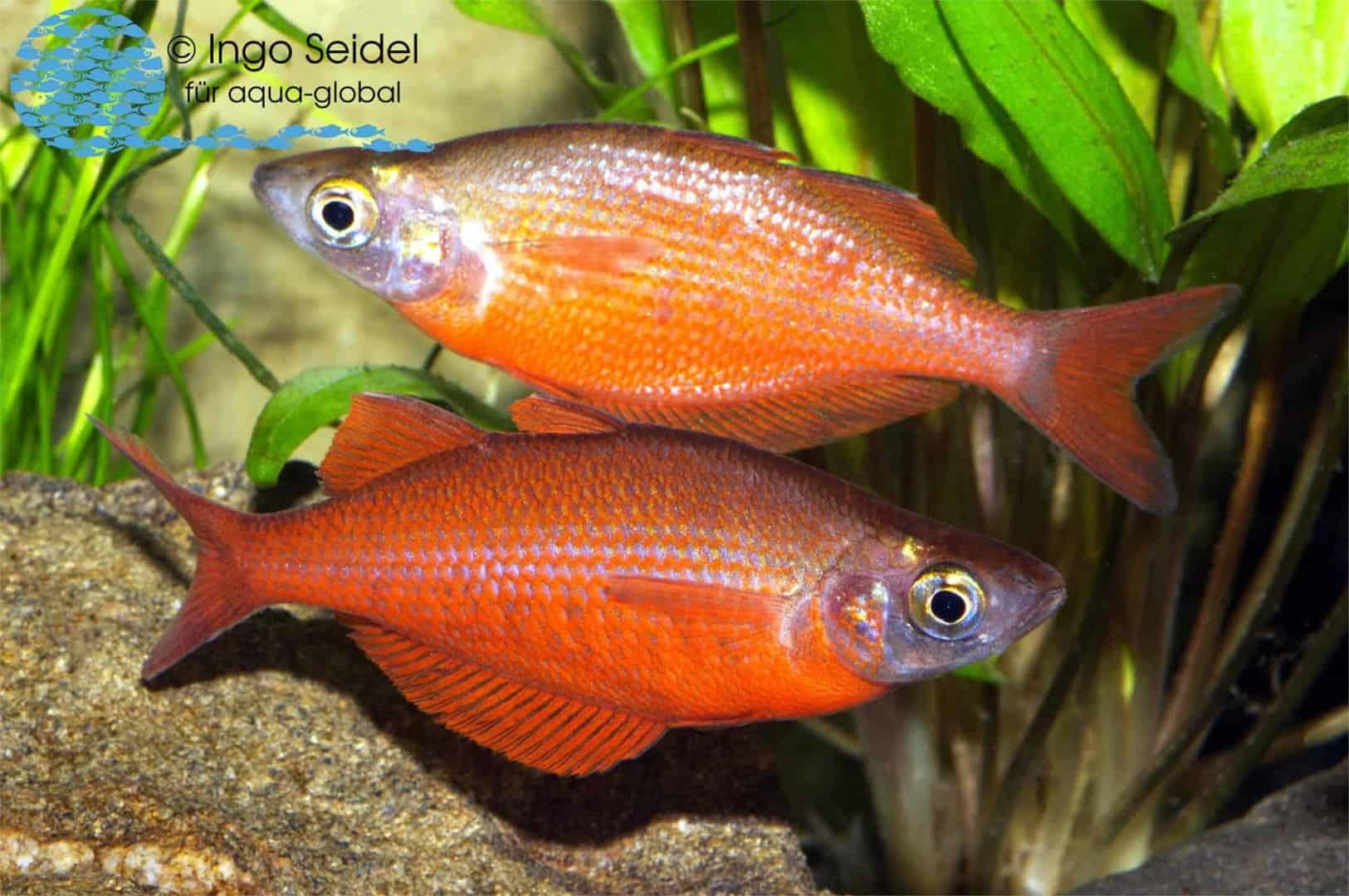 Tami-Regenbogenfisch – Glossolepis pseudoincisus