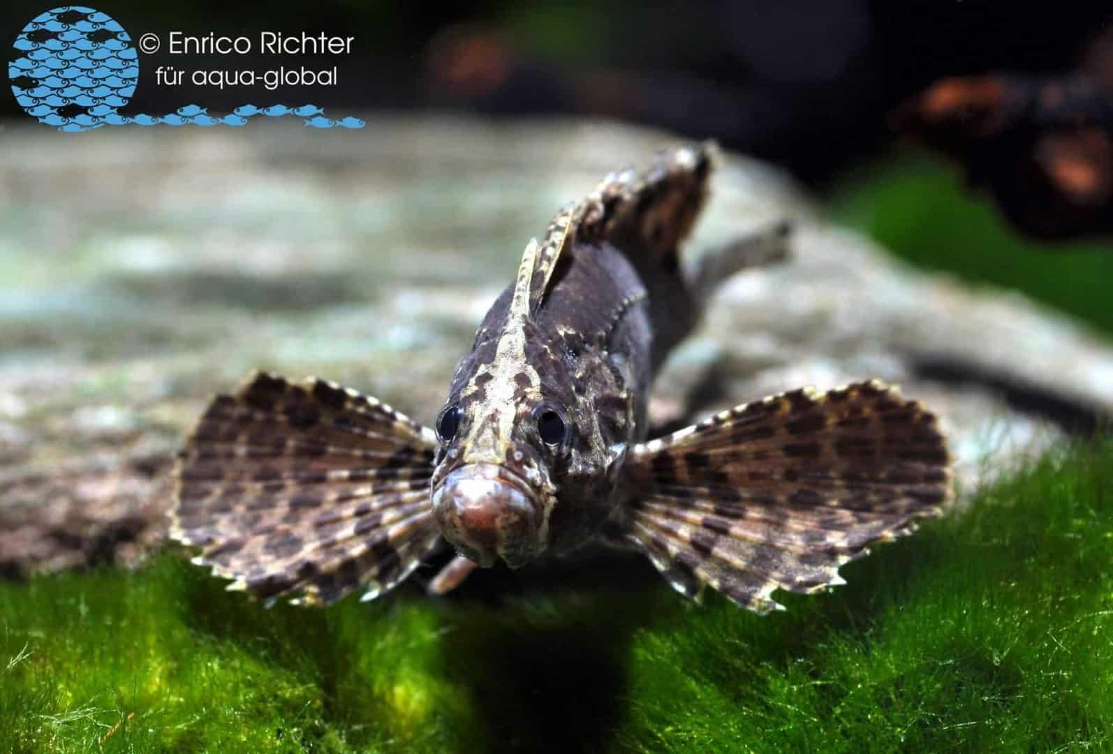 Wespenfisch – Neovespicula depressifrons WF Indonesien