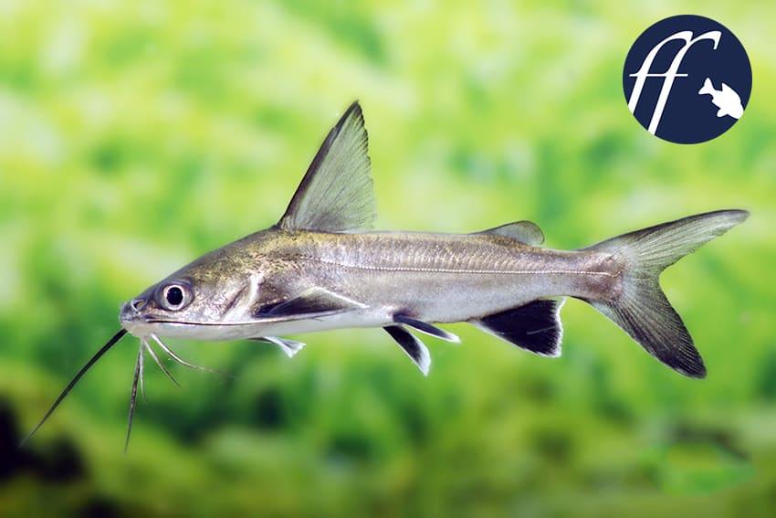 Franky Friday: Der Kreuzwels oder Minihai 1