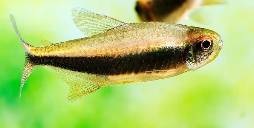 Hyphessobrycon peruvianus