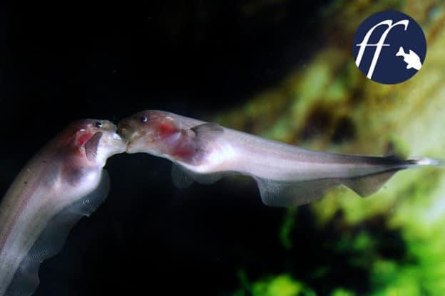 Franky Friday: Apteronotus - Geisterstunde im Aquarium 1