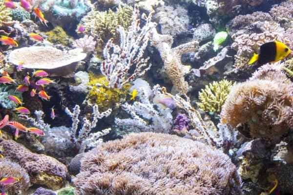 Die farbenprächtigen Korallen - Sie brauchen Licht, um nicht zu verhungern 4