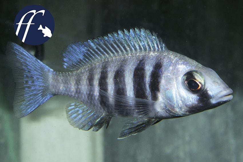 "Franky Friday:Placidochromis cf. phenochilus ""Tanzania"" 1"