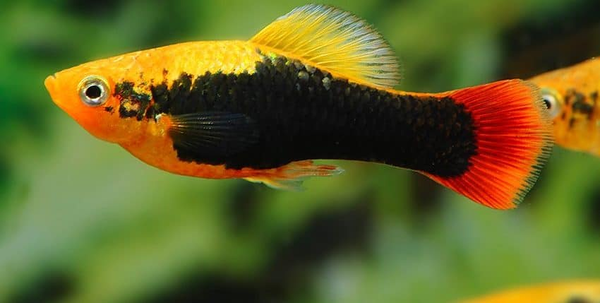 "Xiphophorus variatus ""Hawaii"""