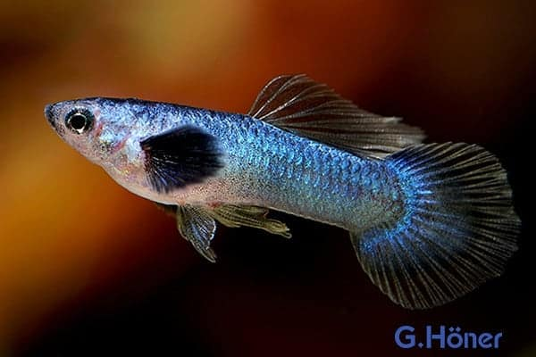 Guppy Blueberry