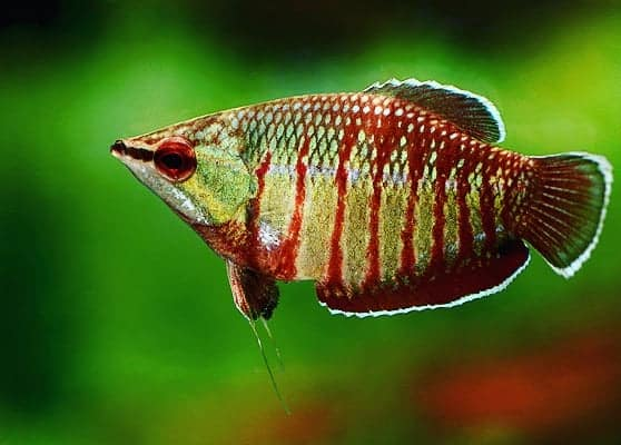 Rote Schokoladengurami (Spaerichthys vaillanti)