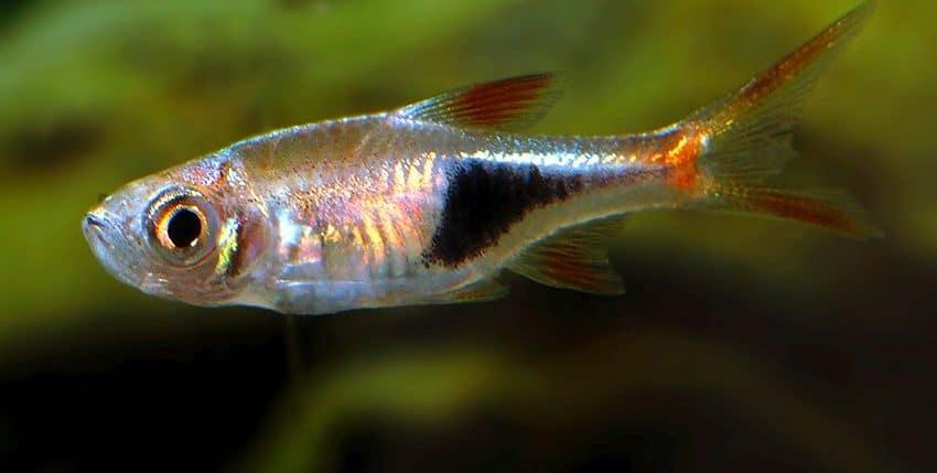 Trigonostigma heteromorpha Wild