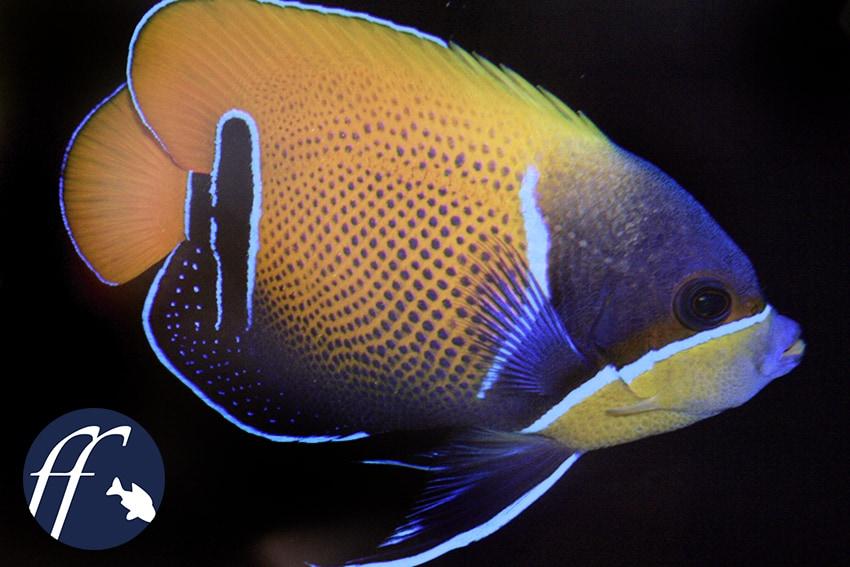 Franky Friday: Falter- und Kaiserfische – Majestäten im Meerwasseraquarium 1