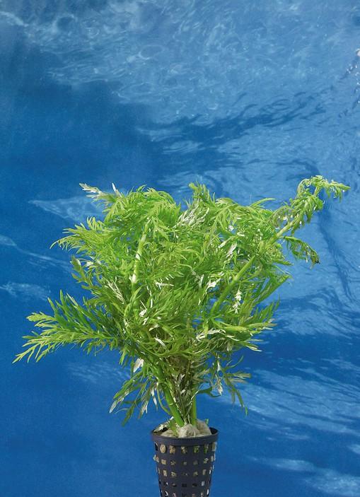 Wasserpflanzen 14