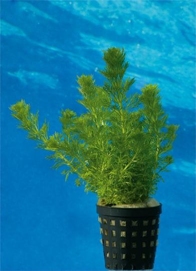 Wasserpflanzen 16