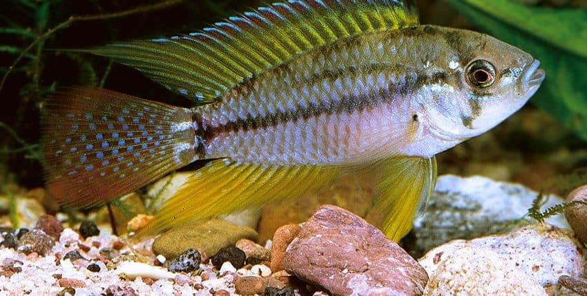 Apistogrammoides pucallpaensis