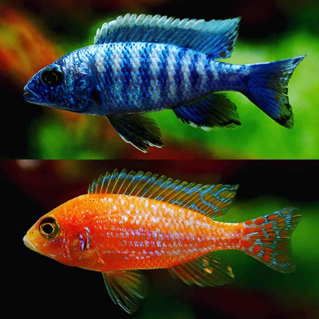 verschiedene Aulonocara-Arten