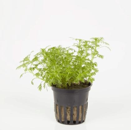 Wasserpflanzen 12