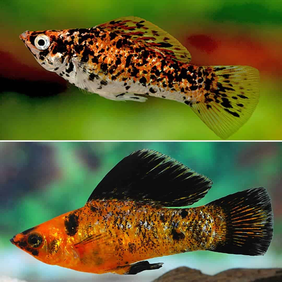 Calico-Sunset-Molly (oben) oder Marmor-Gold-Molly (unten)