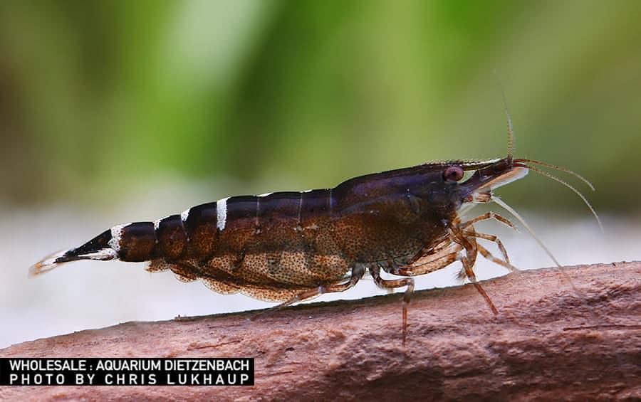 Caridina sp. malaya