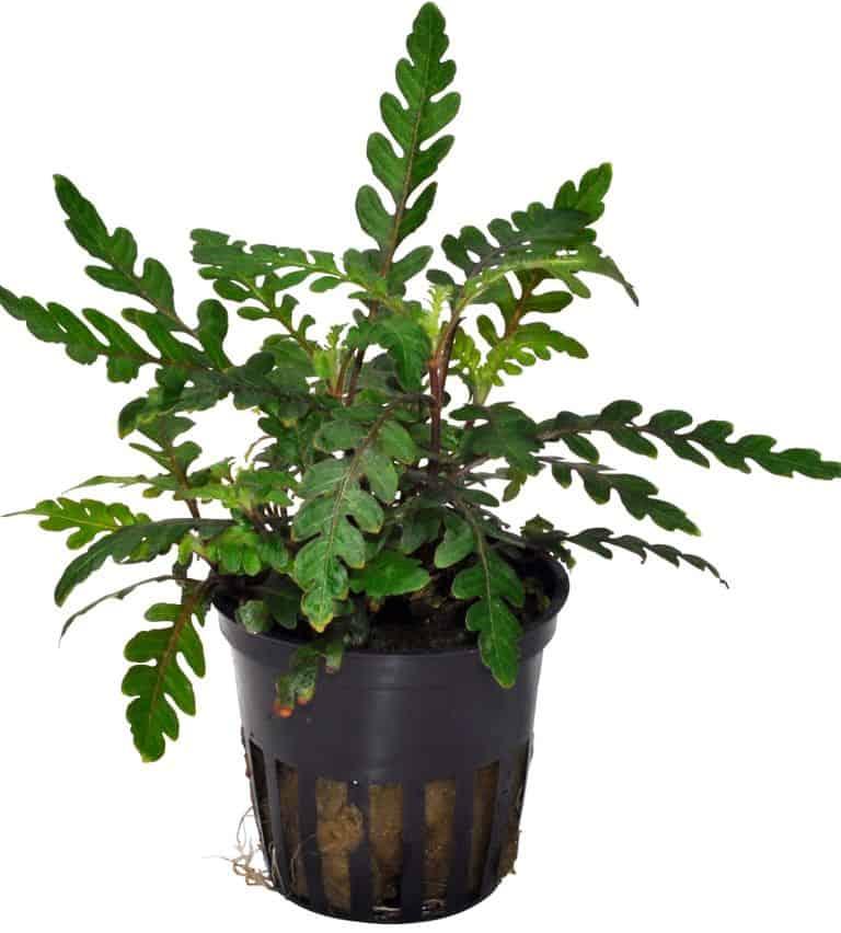 Wasserpflanzen 15