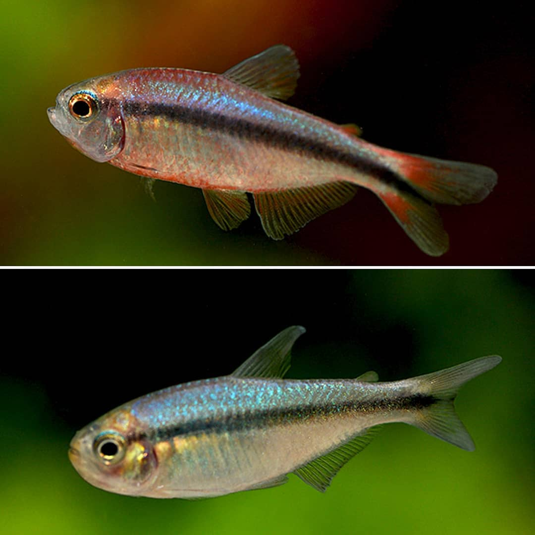 Hyphessobrycon melanostichos