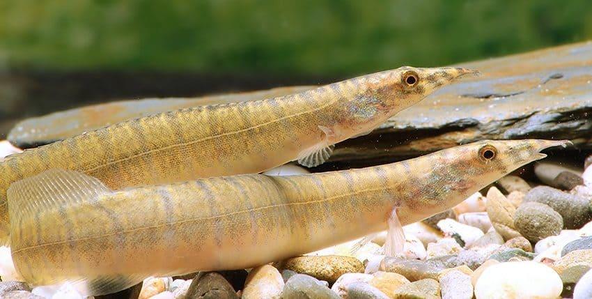 Macrognathus zebrinus