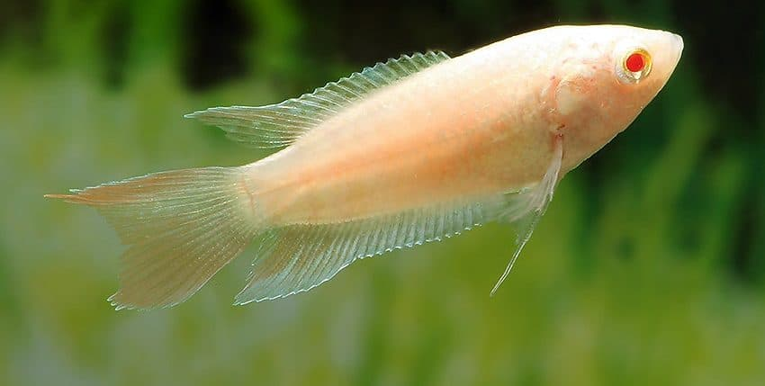 Macropodus opercularis Albino