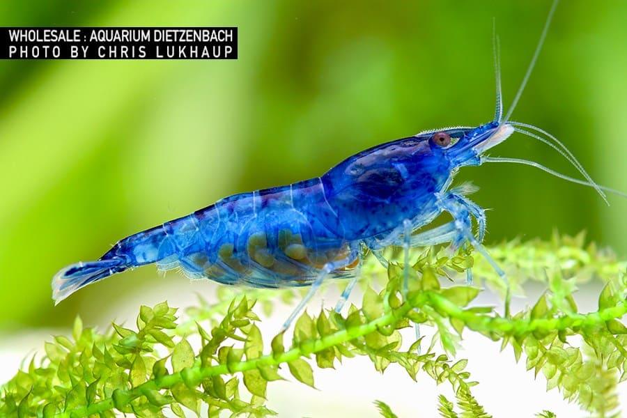 Neocaridina davidi blau