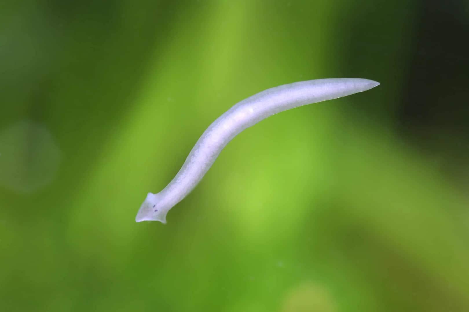 213: Planarien im Aquarium - Wie gefährlich sind die Plattwürmer für die Bewohner? (Ulrike Bauer) 4