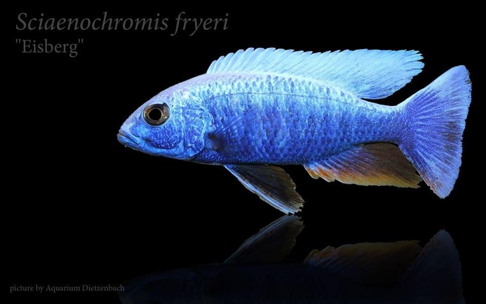 Sciaenochromis fryeri 8-10 cm -Eisberg Männchen