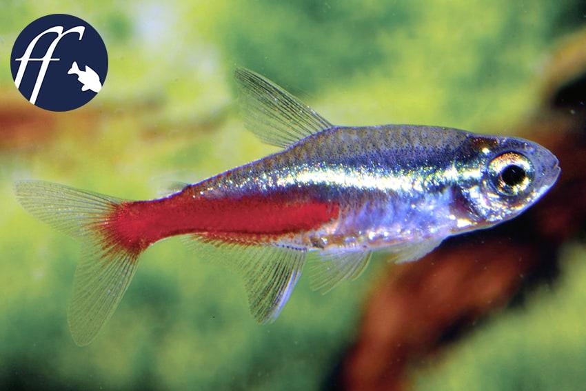 Franky Friday: Der Neonsalmler – ein Fisch, der die Welt veränderte 1