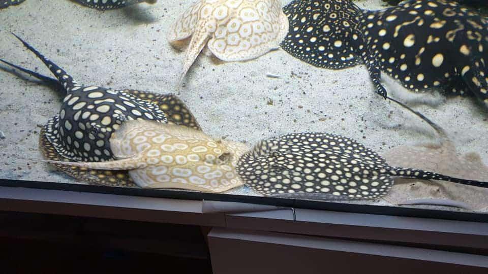 218: Süßwasserrochen im Aquarium - Haltung und Pflege von Potamotrygon (Thorben Hohmann) 5